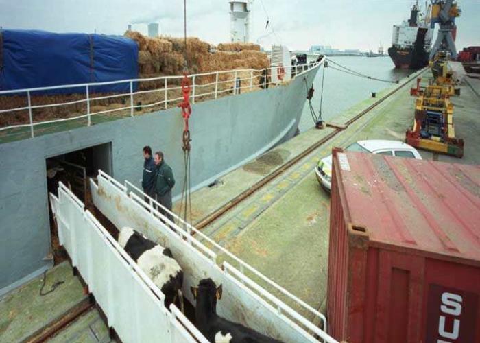 Moerdijk, 2000/01/25, export-vaarzen gaan aan boord van koeienboot Manilla Rose richting Marokko