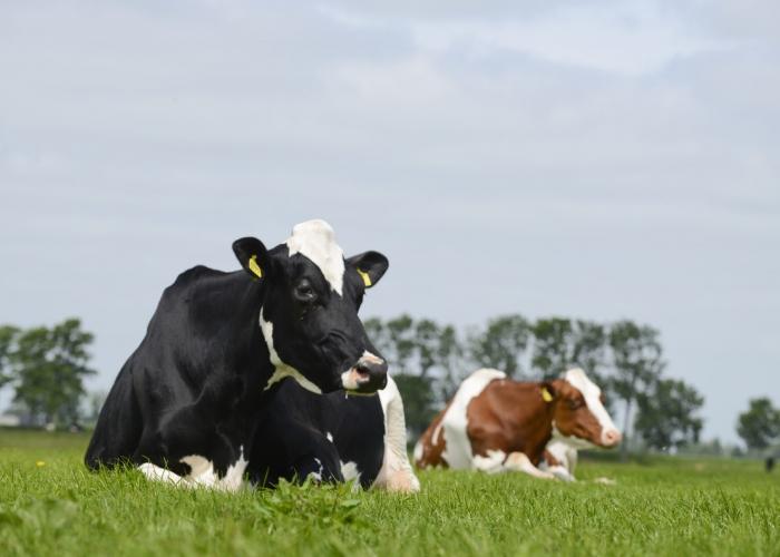Koeien in weide bij J. Wijnker uit Avenhorn